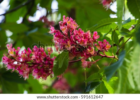 Inflorescence with flowers of red horse chestnut against the sky inflorescence with flowers of red horse chestnut against the sky with clouds mightylinksfo