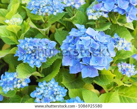 Inflorescences of hydrangea macrophylla (Nikko Blue). Blue floral hortensia background