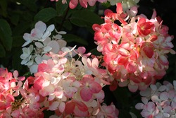 Inflorescences of hydrangea paniculata of the Rouge Diamand shrub variety with red flowers, bright red scarlet color. Seasonal change in color of flowers from white to red