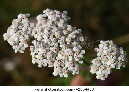 inflorescences of light-coloured milfoil flowers