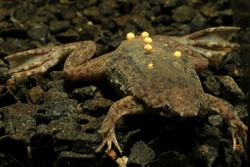 Info: Sabana Surinam toad (Pipa parva) with eggs attached to her back