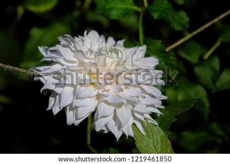 Informal decorative dahlia 'Shiloh Noelle' white flower blooming in the garden. Macro flower pic. Green background.