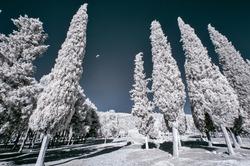 infrared cypress photo under infrared light 720nm wavelength
