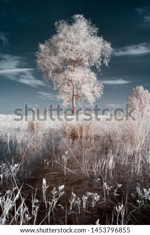 infrared photography, birch on the background of dark sky and evening light