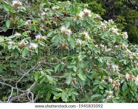 Inga edulis, Fabaceae family,  known as ice cream-bean, joaquiniquil, cuaniquil, guama or guaba, is a fruit native to South America. Stock photo ©