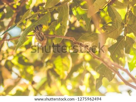 Inga pod on tree (Brazil) - Guaba Stock photo ©