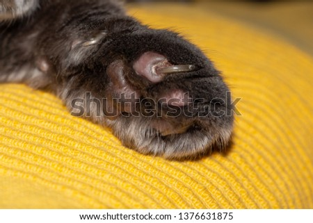 Ingrown claw of cat's paw. Damaged paw pads, coagulated blood. Paws of gray scottish cat.