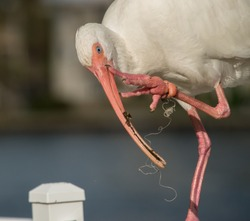 Injured beautiful White Ibis with fishing line wrapped around leg. Swollen leg claw. Water in background