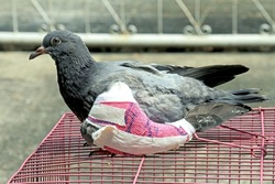 Injured birds, Pigeon with a broken wing, Pigeon, Doves.