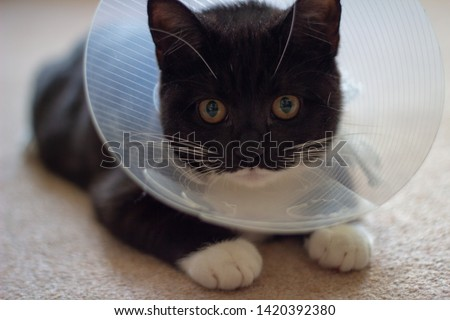 Injured cat wearing a neck collar from the vet after being treated using pet insurance. Black and white cat lying down looking in to the camera looking sad.  #1420392380