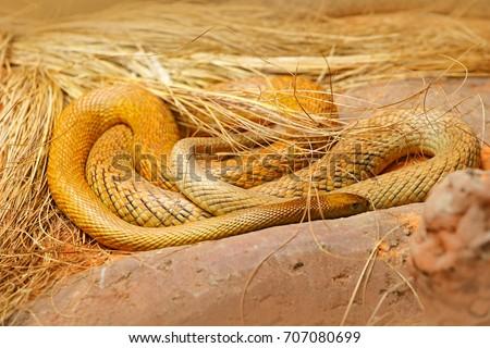 Stock Photo Inland taipan, Oxyuranus microlepidotus, Australia, most poisonous snake. Dangerous animal from Australia. Taipan, wildlife scene from nature.