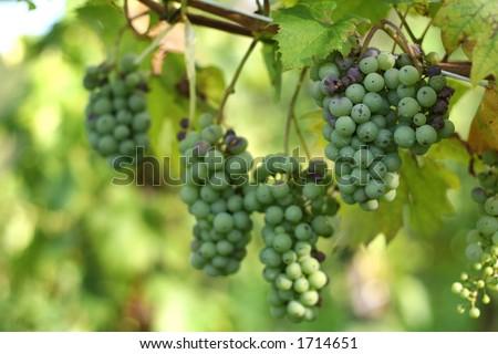 inmature grapes