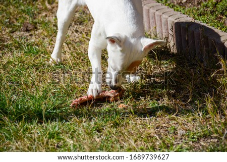 innate instinct of a jack russell hunter who eats a steak bone