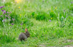Innocent cute wild baby European rabbit sitting on green pasture  and looking at camera. Blooming purple common bugloss, yellow buttercup and colorful flowers are in the background.