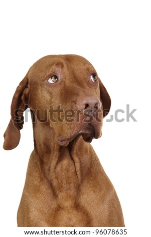 innocent dog portrait on white background