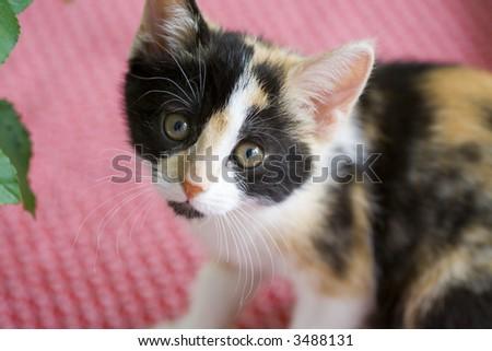 Innocent expression an a baby kitten