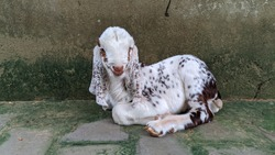 Innocent white goat kid staring at the camera. Small goat sitting near wall, goat is ruminant animal mostly found in Asian continent.
