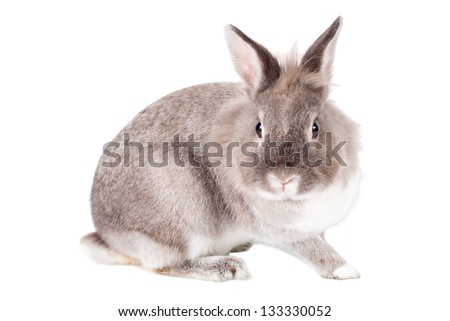 Inquisitive adorable little grey and white Easter bunny rabbit sitting sideways staring straight at the camera isolated on white
