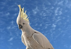 Inquisitive Australian Sulphur Crested Cockatoo close-up with the yellow crest on display and a blue sky backdrop.Gosford, New South Wales, Australia.