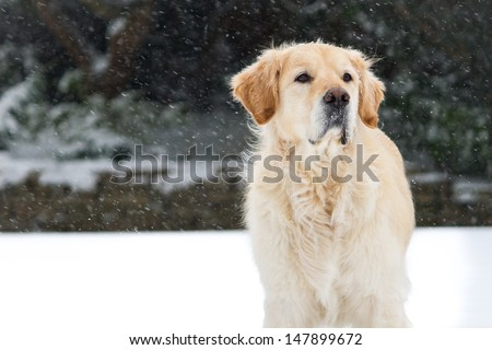 Inquisitive Golden Retriever studying something in the distance while in snowy conditions. Focus falls on the dogs face, shallow depth of field. Copy space to left of image.