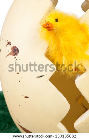 Inquisitive little yellow Easter chick peeking out from between the two halves of a cracked Easter Egg for a fun Easter background