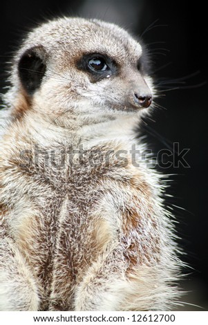 Inquisitive meerkat on the lookout