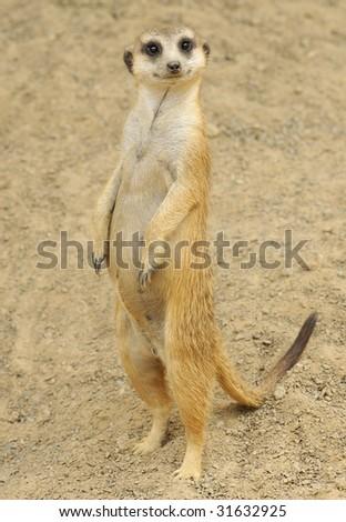 Inquisitive Meerkat Standing
