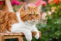 insanely beautiful ginger cat walks outside in the garden
