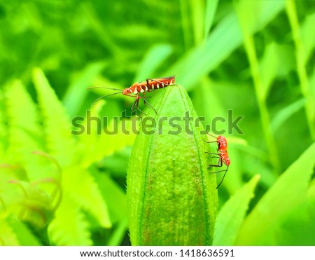 insect An adult male tiny orange Mexican bean lady beetle, lady bug, lady bird (Arthropoda: Insecta: Coleoptera: Coccinellidae: Epilachninae: Epilachna varivestis) on a green leaf macro #1418636591