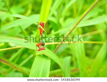 insect An adult male tiny orange Mexican bean lady beetle, lady bug, lady bird (Arthropoda: Insecta: Coleoptera: Coccinellidae: Epilachninae: Epilachna varivestis) on a green leaf macro #1418636594
