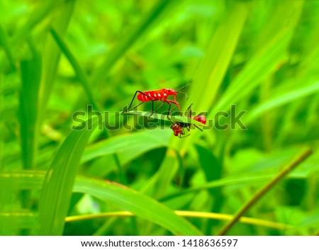 insect An adult male tiny orange Mexican bean lady beetle, lady bug, lady bird (Arthropoda: Insecta: Coleoptera: Coccinellidae: Epilachninae: Epilachna varivestis) on a green leaf macro #1418636597