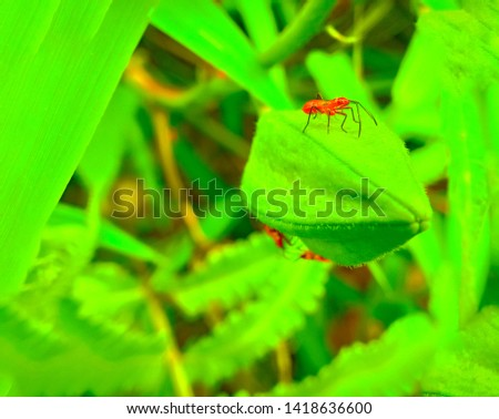 insect An adult male tiny orange Mexican bean lady beetle, lady bug, lady bird (Arthropoda: Insecta: Coleoptera: Coccinellidae: Epilachninae: Epilachna varivestis) on a green leaf macro #1418636600