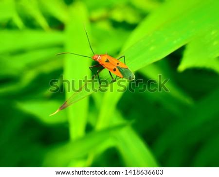insect An adult male tiny orange Mexican bean lady beetle, lady bug, lady bird (Arthropoda: Insecta: Coleoptera: Coccinellidae: Epilachninae: Epilachna varivestis) on a green leaf macro #1418636603