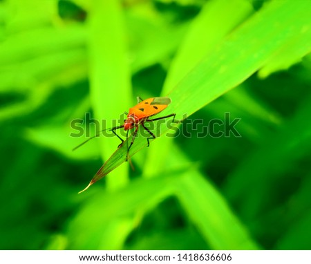 insect An adult male tiny orange Mexican bean lady beetle, lady bug, lady bird (Arthropoda: Insecta: Coleoptera: Coccinellidae: Epilachninae: Epilachna varivestis) on a green leaf macro #1418636606