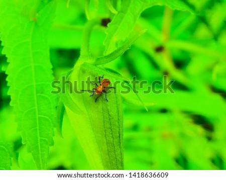 insect An adult male tiny orange Mexican bean lady beetle, lady bug, lady bird (Arthropoda: Insecta: Coleoptera: Coccinellidae: Epilachninae: Epilachna varivestis) on a green leaf macro #1418636609