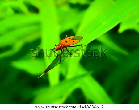 insect An adult male tiny orange Mexican bean lady beetle, lady bug, lady bird (Arthropoda: Insecta: Coleoptera: Coccinellidae: Epilachninae: Epilachna varivestis) on a green leaf macro #1418636612