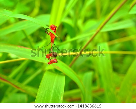 insect An adult male tiny orange Mexican bean lady beetle, lady bug, lady bird (Arthropoda: Insecta: Coleoptera: Coccinellidae: Epilachninae: Epilachna varivestis) on a green leaf macro #1418636615
