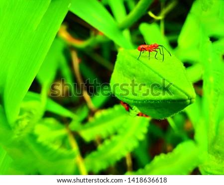 insect An adult male tiny orange Mexican bean lady beetle, lady bug, lady bird (Arthropoda: Insecta: Coleoptera: Coccinellidae: Epilachninae: Epilachna varivestis) on a green leaf macro #1418636618