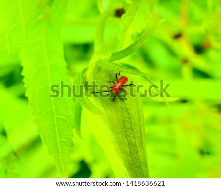 insect An adult male tiny orange Mexican bean lady beetle, lady bug, lady bird (Arthropoda: Insecta: Coleoptera: Coccinellidae: Epilachninae: Epilachna varivestis) on a green leaf macro #1418636621