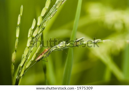 insect and paddy stalk