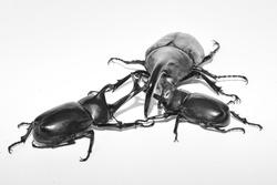 Insect battle Hercules beetle   Japanese beetle