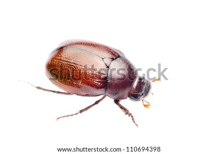 insect beetle isolated on white - stock photo