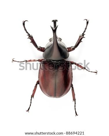 insect, beetle, rhino beetle bug isolated on white background