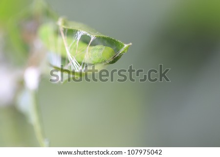 insect caterpillar building cocoon from it's web and leaf