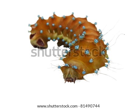 insect caterpillar isolated on white background, Saturnia pyri , Great Peacock caterpillar