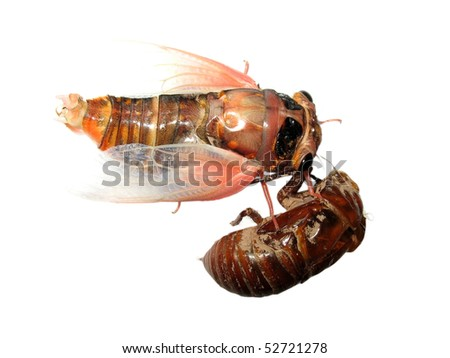 insect cicada and molt isolated
