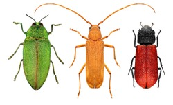 Insect color diversity (red, yellow, green) - red borer, long-horn beetle and jewel beetle (metallic wood-boring beetle) isolated on a white background
