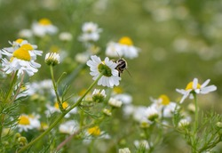 Insect Common Drone Fly (Eristalis tenax) in a field full of chamomile (camomile, Matricaria) on an biological farm. Nature inclusive agriculture.