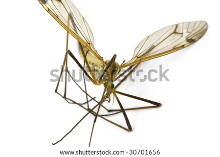 Insect Crane Fly, Family Tipulidae Isolated on White Background