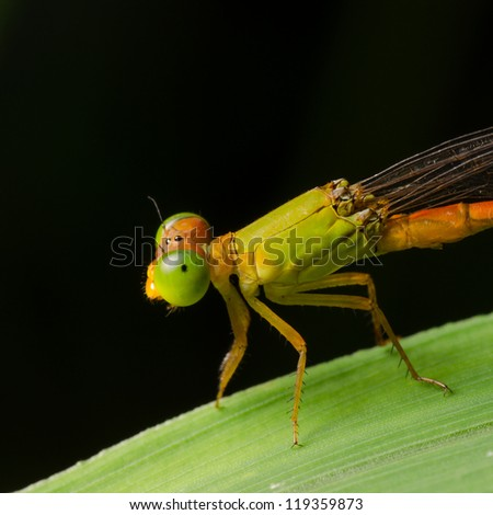 Stock Photo insect damselfly,Ceriagrion fallax Ris